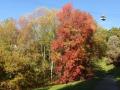 Ликвидамбар и другие деревья