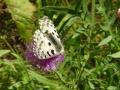 Ольхонская бабочка
