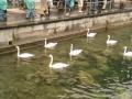 Лебеди на реке Ройс